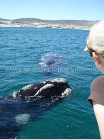 Whale watching boat trips in Hermanus